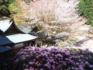 月輪寺の石楠花と桜