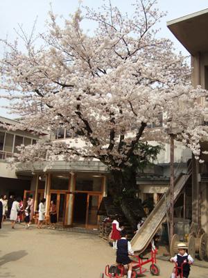 桜が美しい園庭@幼稚園入園式