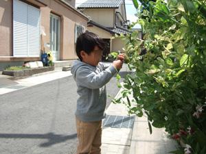 家庭菜園で大きな豆をもぎとる長男