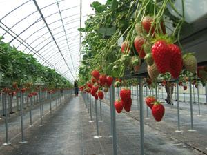 いちごの高設栽培@華やぎ観光農園のイチゴ狩り