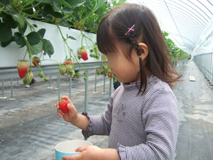 いちごを狩る長女@華やぎ観光農園のイチゴ狩り