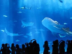 巨大水槽のジンベイザメとマンタ@沖縄美ら海水族館