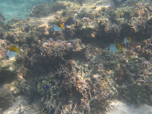 シュノーケリングで見掛けた珊瑚と魚たち@沖縄の綺麗な海