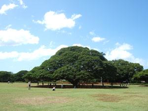 この木何の木気になる木@ハワイ家族旅行