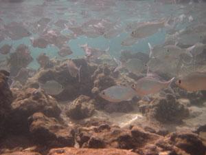 人を恐れない魚の群れ@ハワイ家族旅行
