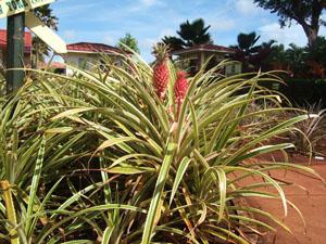 赤いパイナップル@ハワイ家族旅行