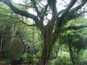 緑豊かなワイメア渓谷のハイキングコース@ハワイ家族旅行