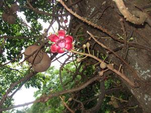 巨大な花と実@ハワイ家族旅行