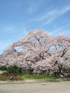 京都府立植物園の桜が満開