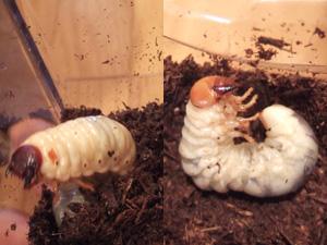 カブトムシ幼虫(左)とクワガタムシ幼虫(右)