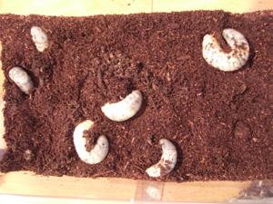 コバエシャッター(大)でカブトムシ幼虫6匹を飼育
