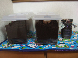 カブトムシとクワガタムシの幼虫飼育セット完成