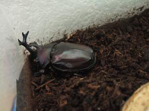 昆虫マット上に姿を現したカブトムシ