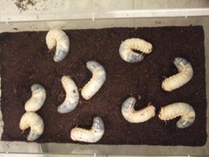 糞掃除後の飼育ケースに並べたカブトムシ幼虫10匹