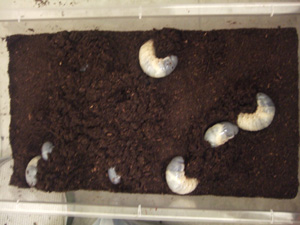 新タイプビートルマットに潜るカブトムシ幼虫10匹