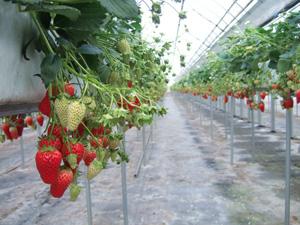 イチゴの高設栽培@華やぎ観光農園