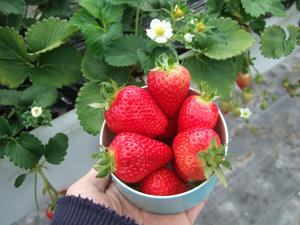 真っ赤なイチゴ@華やぎ観光農園