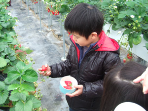 イチゴを狩る長男7歳@華やぎ観光農園