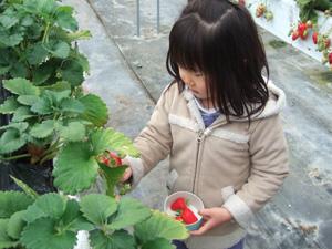 イチゴを狩る長女5歳@華やぎ観光農園