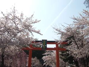 平野神社の鳥居と桜@京都