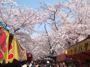 平野神社の桜と屋台@京都