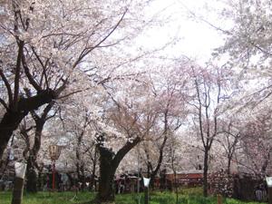 平野神社の宴会禁止エリアの桜@京都