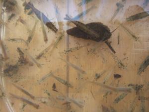 賀茂川で捕まえた小魚とエビとタニシ