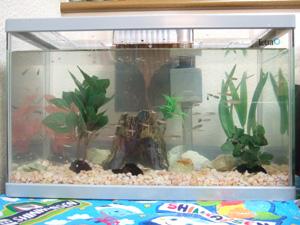 賀茂川で捕まえた小魚とエビとタニシを水槽(テトラAG-41GF)に