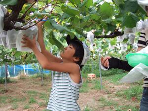 葡萄を狩る長男8歳@竜王川守観光ぶどう園