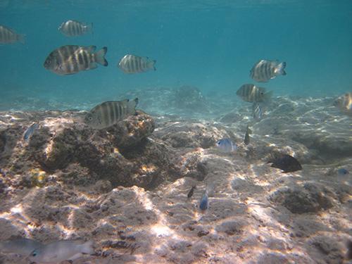 ホテルニッコーグアムのビーチには魚がいっぱい