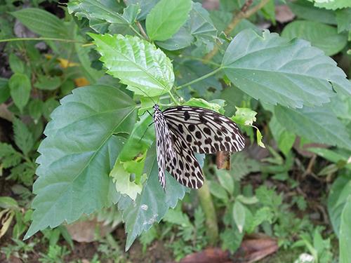 """""""てふてふ@キナバル公園の蝶園(Butterfly"""