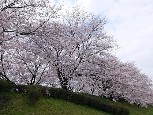 """""""桜満開&人多すぎ@桂川サイクリングロード"""""""