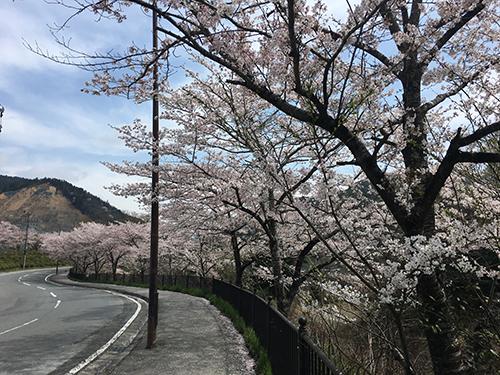 貴船・鞍馬から大原へと向かう道(1).観光客は来ないので,満開の桜を独り占め.