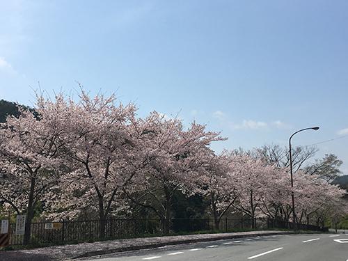 貴船・鞍馬から大原へと向かう道(2).観光客は来ないので,満開の桜を独り占め.