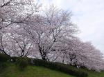 桜と菜の花が満開の桂川&淀川サイクリングロード