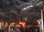 花見客で賑わう平野神社の夜桜を見に@京都